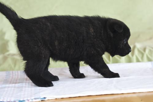 Ayu-Litter1-Day30-Puppy1-Female-b