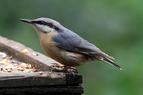 Nuthatch, Risley Moss, Warrington, Cheshire