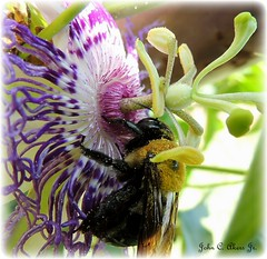 """Bumble Bee and Wild Passion Flower"""