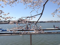 Cherry Blossoms 010