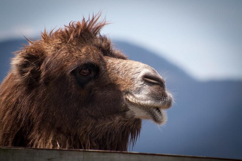 camelsfour