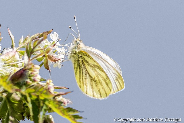 Green-veined White Butterfly (Spring Brood) (Female) (Pieris Napi)