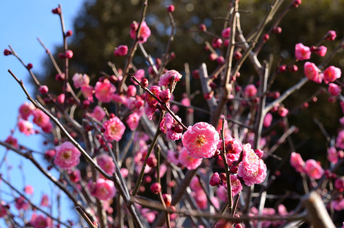 a plum began to bloom