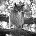 Mama Great Horned Owl
