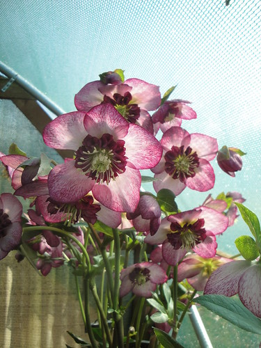 Helleborus Cherry Blossom group