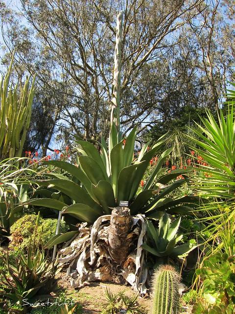 Agave salmiana Pulque agave