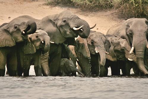 Elefanti in abbeverata sulle rive del Chobe