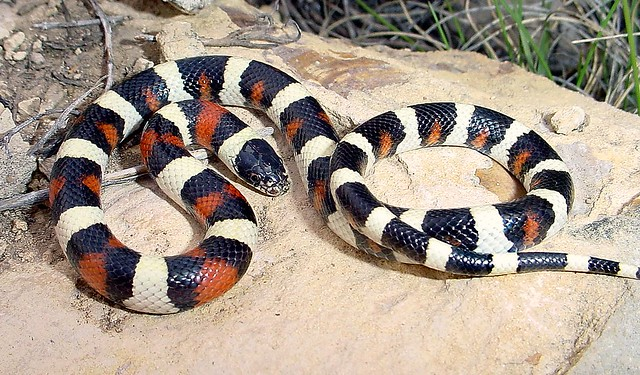 Juvenile Central Plains Milk Snake - Kansas   Flickr ...