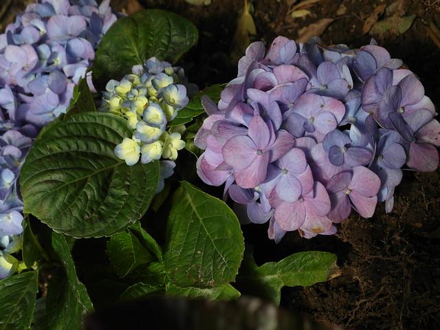 這裡的繡球花每一朵顏色都不一樣