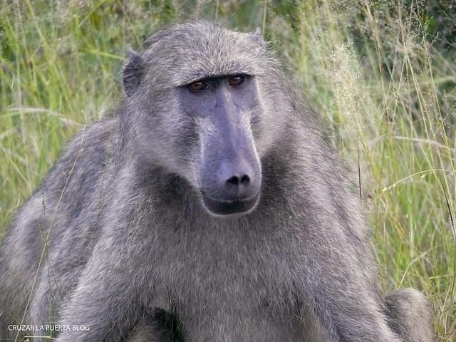 baboonP1050636 1