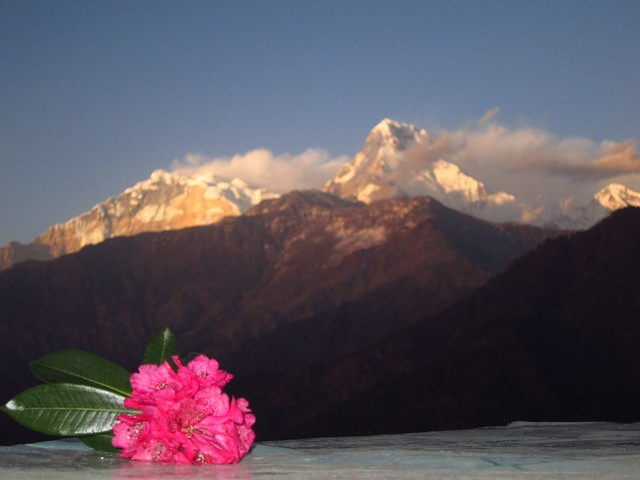 Rhododendron and Annapurna Mountains at Sunset from Ghorepani (Day 3)