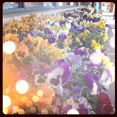 It's pansy time outside my Kroger.