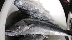 tilapia(0.0), bass(0.0), cod(0.0), barramundi(0.0), animal(1.0), fish(1.0), fish(1.0), milkfish(1.0),