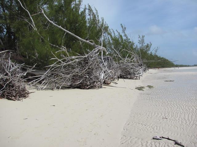 Dead Australia Pines 1