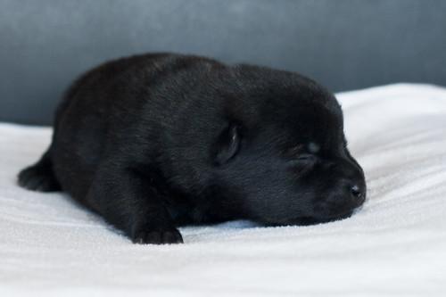 Ayu-Litter1-Day05-Puppy2-Female-c