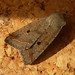 Small photo of Red-line Quaker. Agrochola lota
