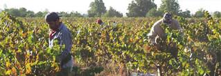 Chilecito cosechó hasta ahora 42 millones de kilos de uvas