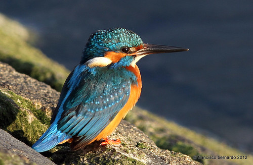 Guarda-rios - Kingfisher (Alcedo atthis) by françois26