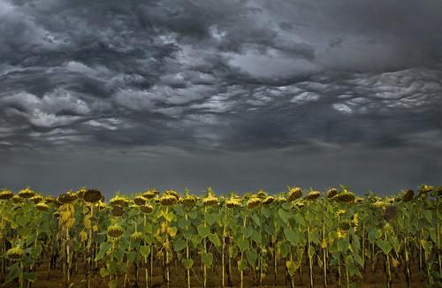 summer sky cloud storm france field wales canon eos cycling farming cymru cardiff august crop sunflowers caerdydd 5d lightning agriculture vendee thunder touring 24105 mammatus canoneos5d wentloog stevegarrington undulatusasperatus