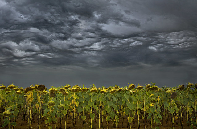 Dead Sunflowers under a Stormy Sky