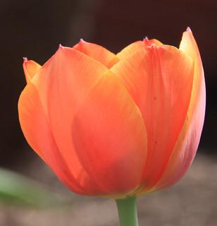 Orangy Tulip