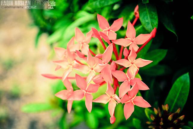 Bunga Siantan, Pecah Periuk, Jejarum