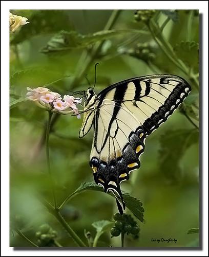 nature butterfly insect wings nikon louisiana ngc folsom tigerswallowtail topshots d700 natureselegantshots panoramafotografico mizellfarms theoriginalgoldseal mygearandme