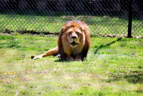 zoo - lion