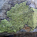 Map Lichens - Photo (c) Tig, all rights reserved