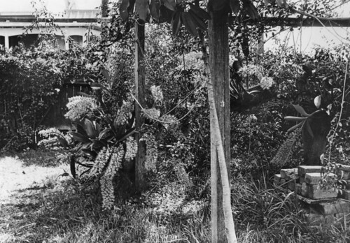 Lower front garden of the Cowlishaw residence, Montpelier, Bowen Hills, ca. 1927