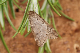 March Moth (Alsophila aescularia)