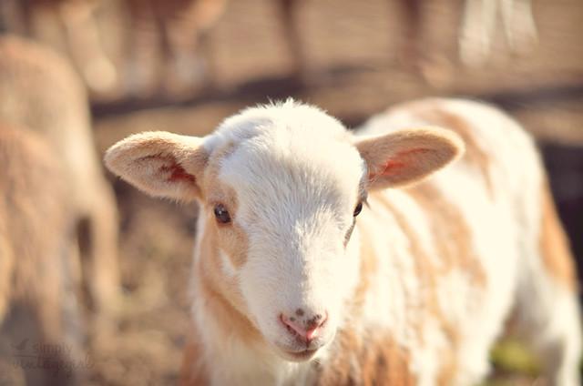 Creamy Lamb