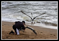 Margate Pelican Rescue 4 March 2012