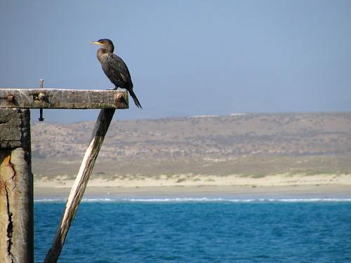 Aves de Tongoy
