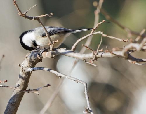 Black-Capped Chickadee by Ricky L. Jones Photography