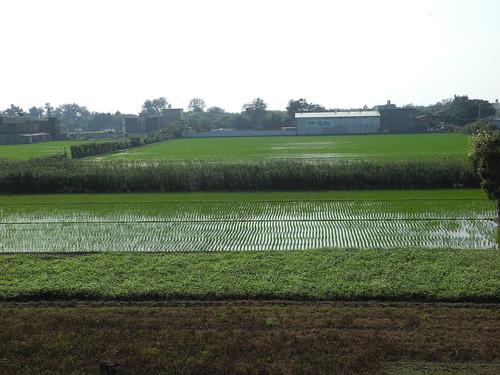 Hsinchu Rice Paddy