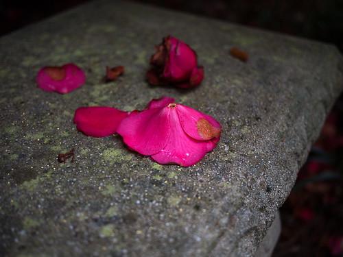 Fallen Red Camellia