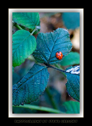 ladybird by Steve_Gregory