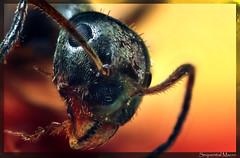 Lasius niger - Common Black Ant