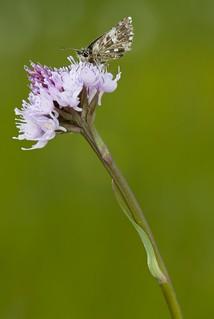 Farfalla su Orchidea Traunsteinera globosa