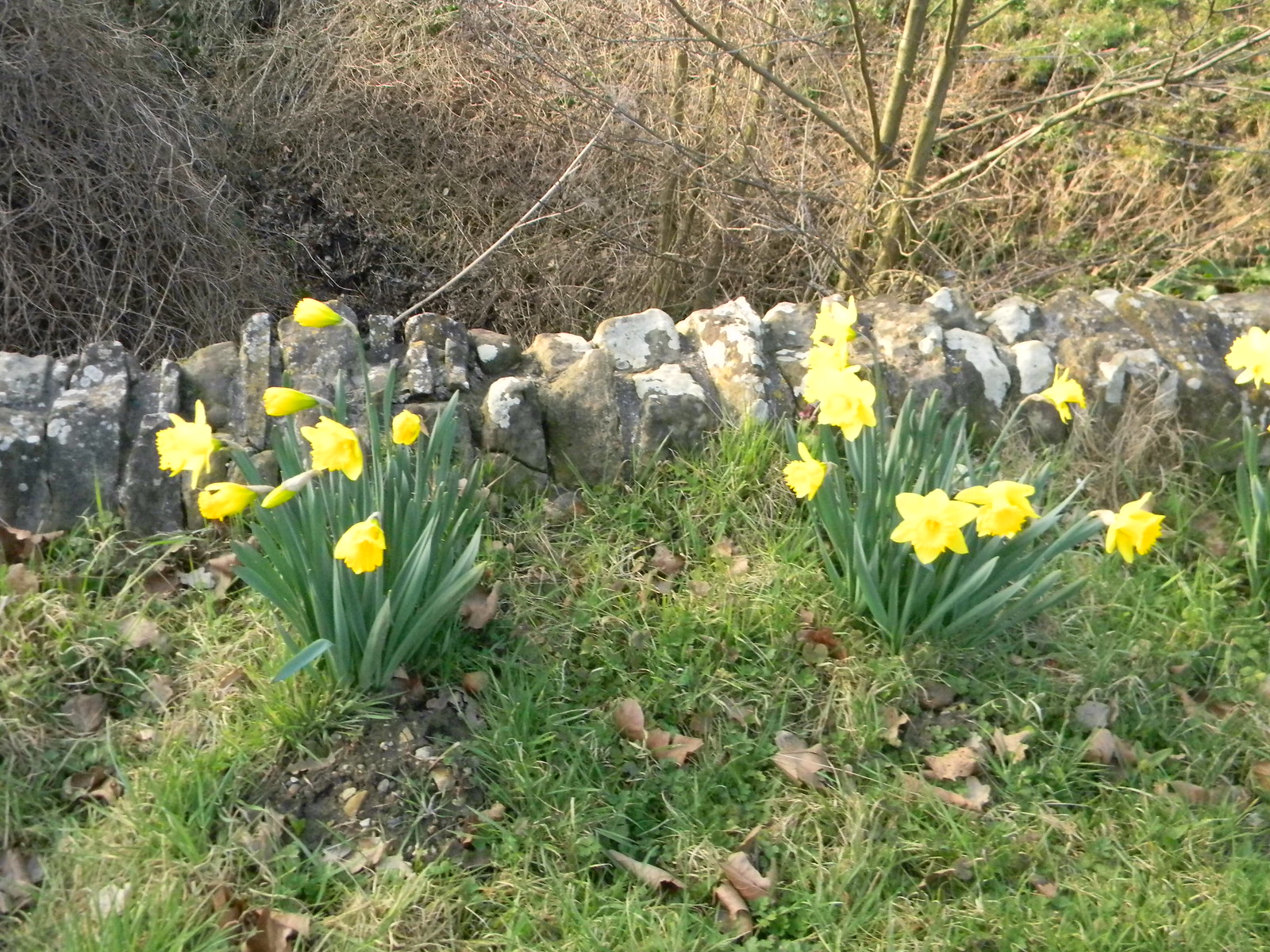 Daffs Robertsbridge to Battle