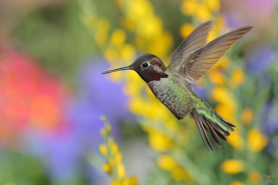 Anna's Hummingbird 031312-2
