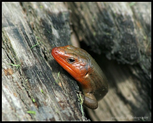 Meet a Red-headed Skink...