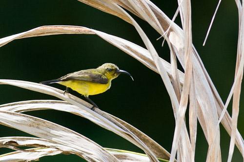 female Olive-backed Sunbird