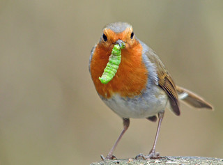 Robin - with a caterpillar