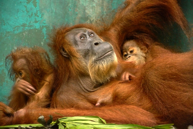 a mother orangutan with her two babies