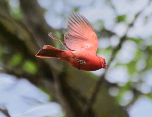 Cardinal in flightt 05-04-2012