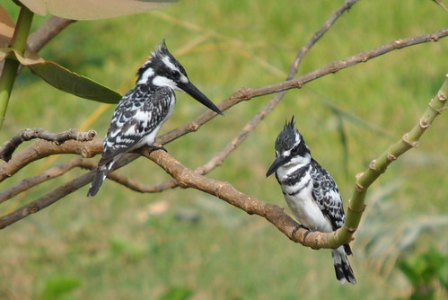 PAIR OF PIED KINGFISHER