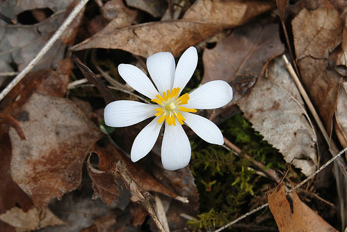 Picture of Bloodroot, a spring wildflower seen while hiking in the Missouri Ozarks.