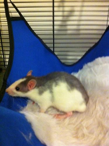 Rats - 25th April 2012